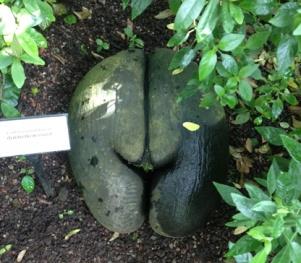 Kokosnöt