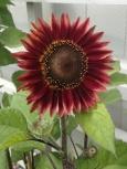 Röd solros