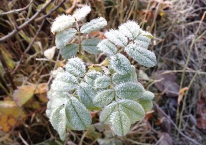 frostlöv